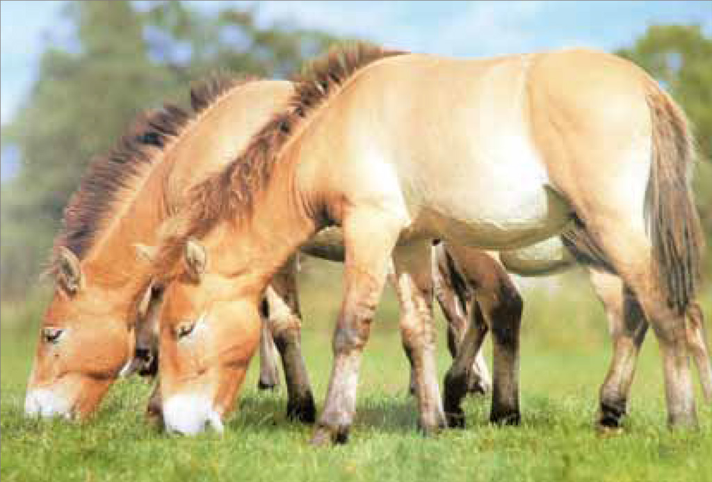 Przewalski Pferd Reiten Das Przewalski-pferd Ist Das